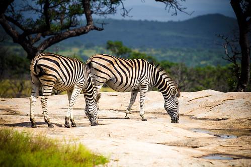Image of Zebras