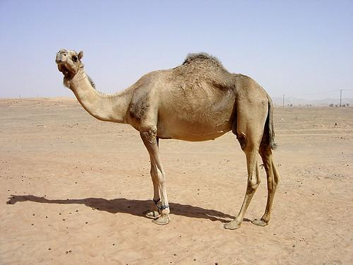 Image of Camels