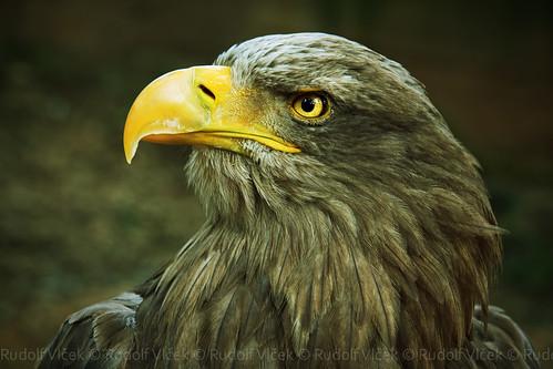 Image of Eagles