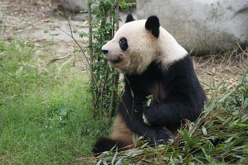 Image of Giant Pandas