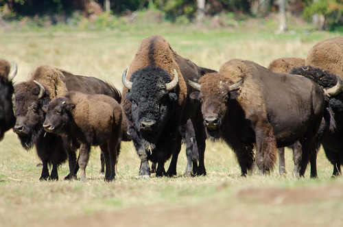 Image of Bisons