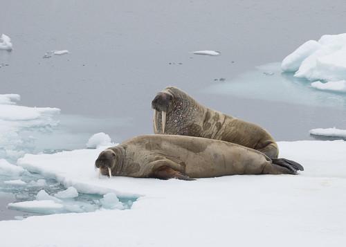 Image of Walruses