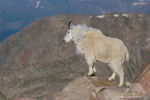 Image of Mountain Goats