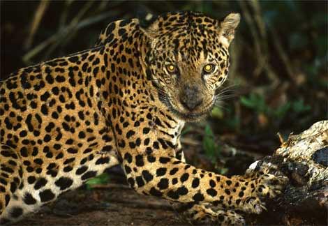 Image of Jaguars