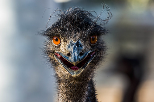 Image of Emus