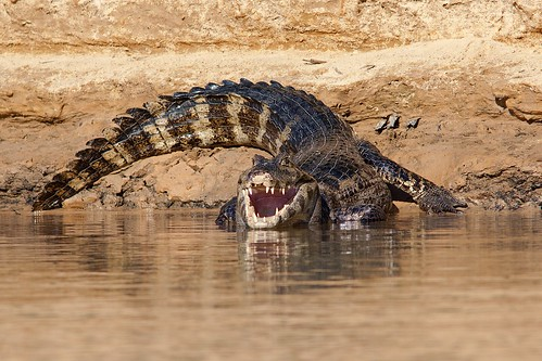 Image of Caimans