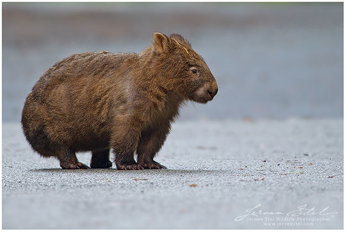 Image of Wombats