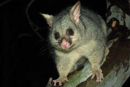 Image of Possums