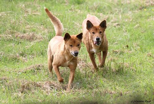 Image of Dingos