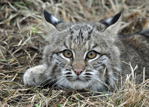 Image of Bobcats