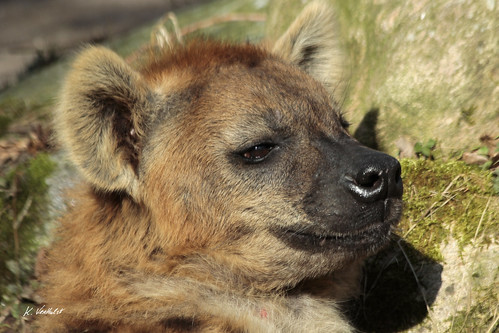 Image of Hyenas