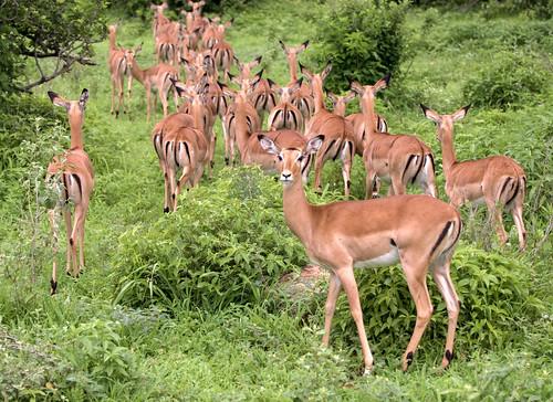 Image of Impalas