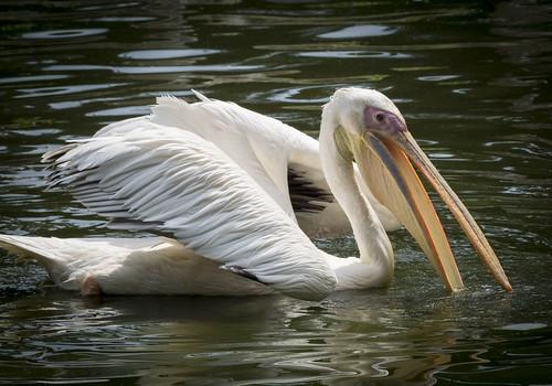 Image of Pelicans