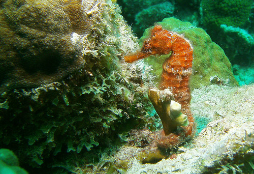 Image of Seahorses