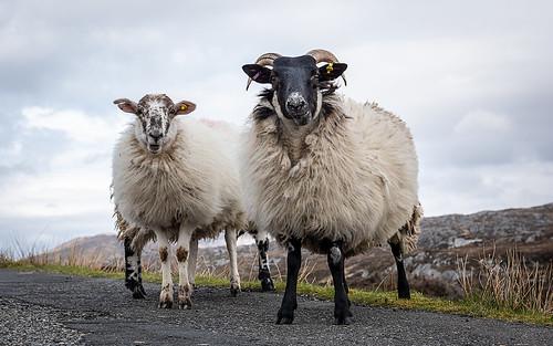 Image of Sheeps
