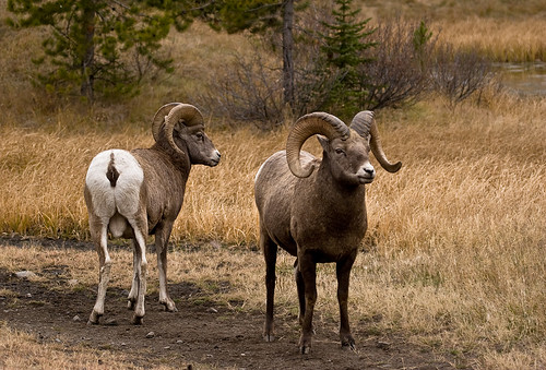 Image of Rams