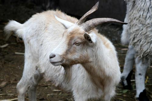 Image of Goats