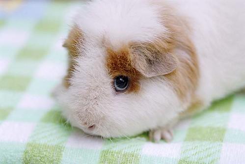 Image of Guinea Pigs