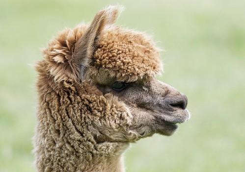 Image of Alpacas