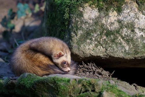 Image of Ferrets