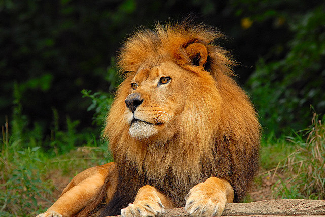 Image of Lions