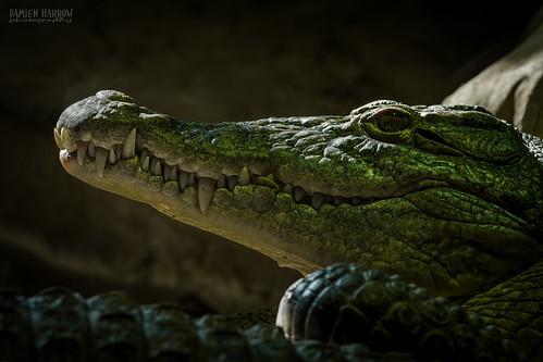 Image of Crocodiles