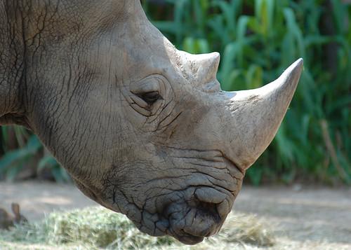 Image of Rhinoceros