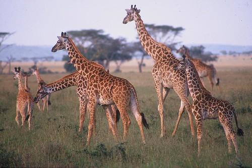 Image of Giraffes