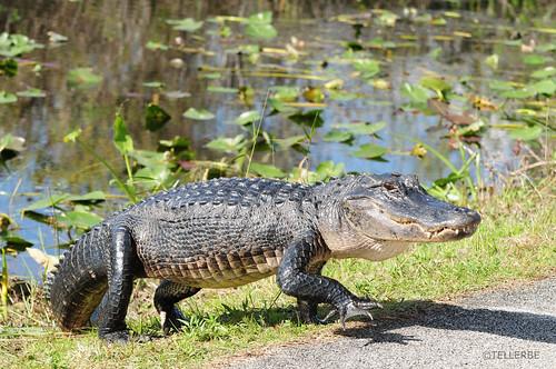 Image of Alligators