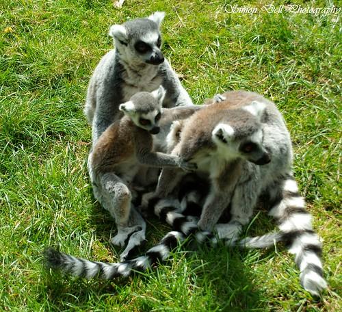 Image of Lemurs