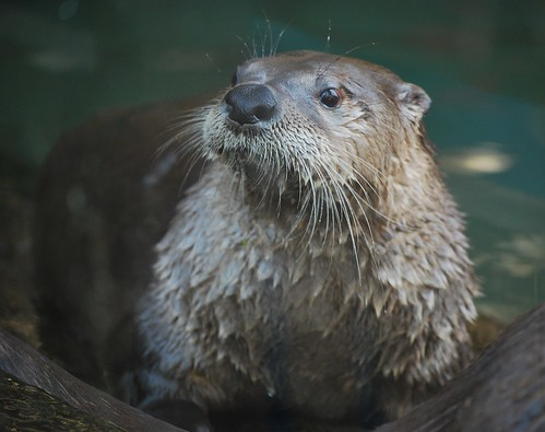 Image of Otters