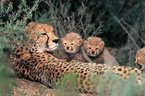 Image of Cheetahs