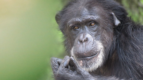 Image of Chimpanzees