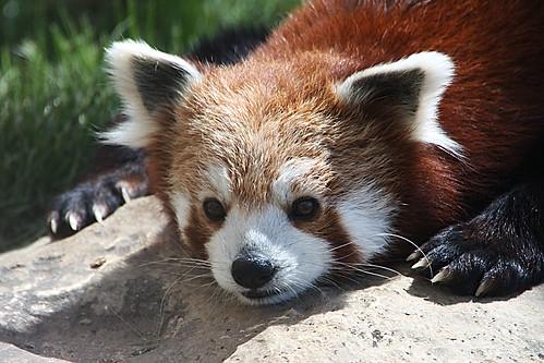 Image of Red Pandas