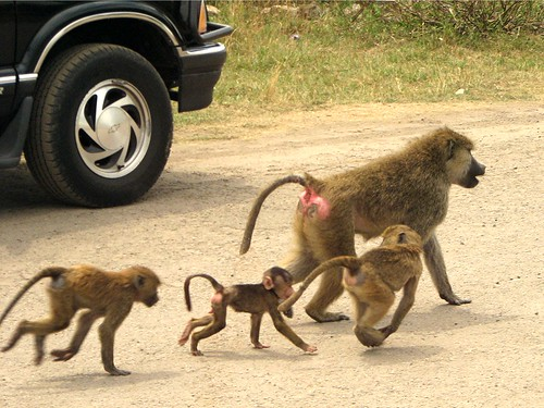 Image of Baboons