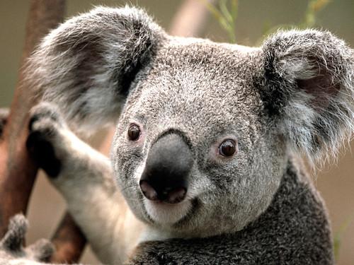 Image of Koalas